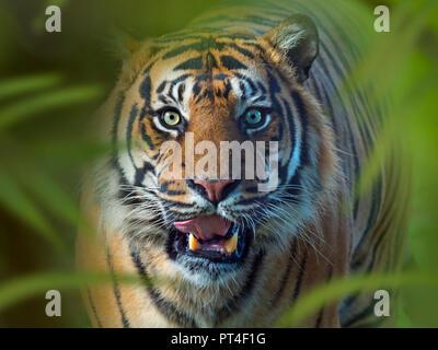 Sumatran tiger Panthera tigris sondaica CAPTIVE - Stock Photo