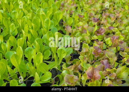 Young and fresh cos lettuce in an organic farm - Stock Photo