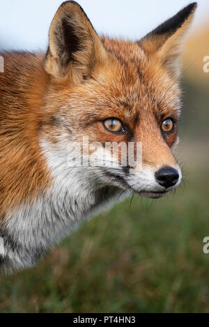 Head of a staring European red fox (Vulpes vulpes) close up - Stock Photo