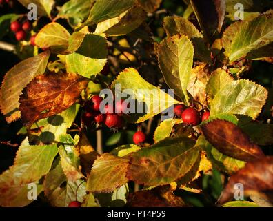 Red berry in park near house going with kids no travel for business - Stock Photo