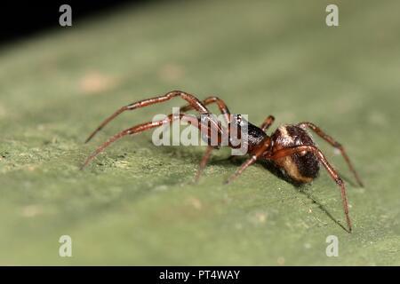 Common false widow / Rabbit hutch spider (Steatoda bipunctata) male, on a garden fence, Wiltshire, UK, October. - Stock Photo
