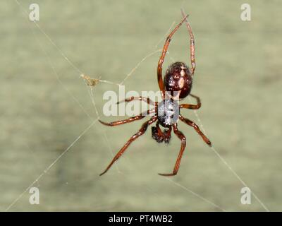 Common false widow / Rabbit hutch spider (Steatoda bipunctata) male, on a web on a garden fence, Wiltshire, UK, October. - Stock Photo