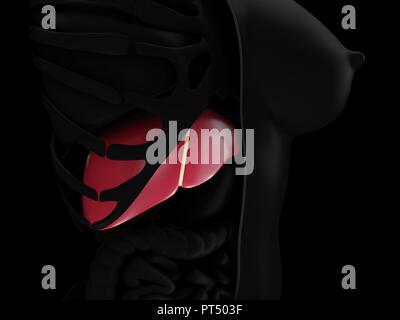 Realistic human liver. 3d illustration. Medicine anatomy, organ human. - Stock Photo