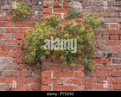 Rock Samphire (Crithmum maritimum) rowing out of a brick wall (Cornwall). Foraged as a wild food and eated pickled. - Stock Photo