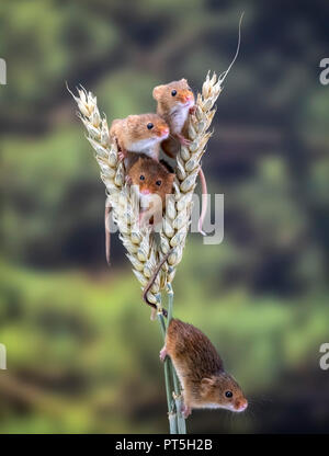 Four Harvest Mice on wheat - Stock Photo