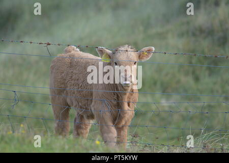 Close up of highland cattle young calf calves in a grassy field behind barbed wire fence near Tarbert on the Isle of Harris Outer Hebrides Scotland UK - Stock Photo