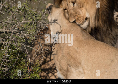 Lion intimacy - close up - Stock Photo