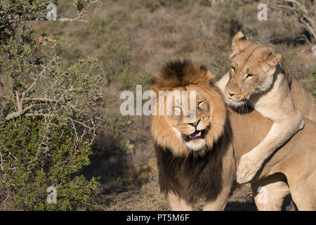 male and female lion engaging in mating rituals - Kuzuko Lodge, Eastern Cape, South Africa - Stock Photo