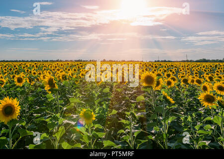 Scenic rural summer landscape with cloudy sky over field of sunflowers during sunset - Stock Photo