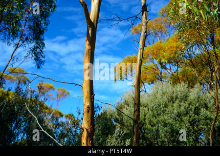 River Red Gum Tree, in a eucalyptus forest, Western Australia - Stock Photo