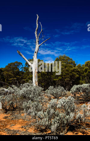 white trunk of a dead Gum tree surrounded by bright Silver Ball bushes and an eucalyptus forest. - Stock Photo