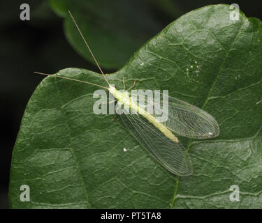 Dorsal view of Green Lacewing on oak leaf. Tipperary, Ireland - Stock Photo