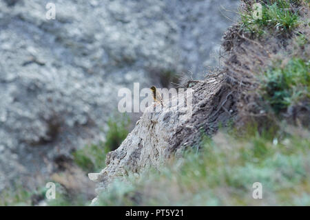 Ortolan (emberiza hortulana) sits on an impressive stone wall of a chalk gully. - Stock Photo