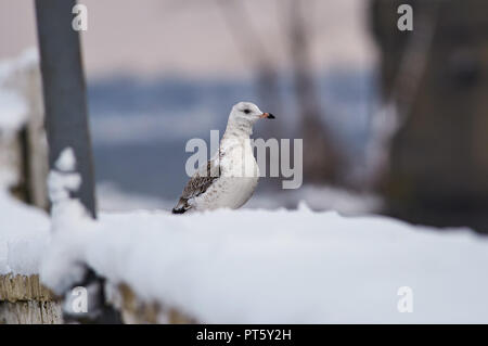 Common gull (Larus canus) sits in the snow on the concrete fence of the city embankment. - Stock Photo