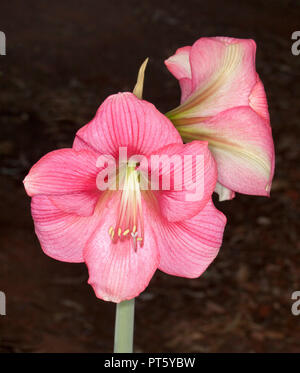 Cluster of large and spectacular deep pink flowers of Hippeastrum, spring flowering bulb, against dark background - Stock Photo
