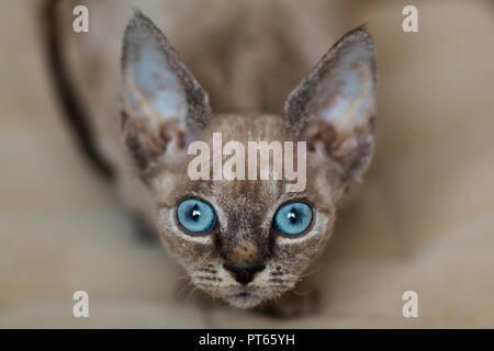 close-up view of face of devon rex kitten with blue eyes - Stock Photo