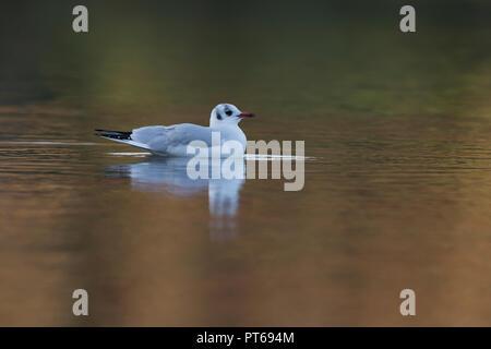 Black-headed gull Chroicocephalus ridibundus, winter adult, swimming on pond, Bradgate Park, Leicestershire, UK, December - Stock Photo