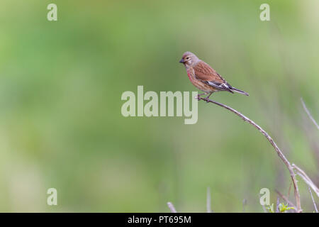 Common linnet Carduelis cannabina, adult male, perched on twig, Nash Point, Wales, May - Stock Photo