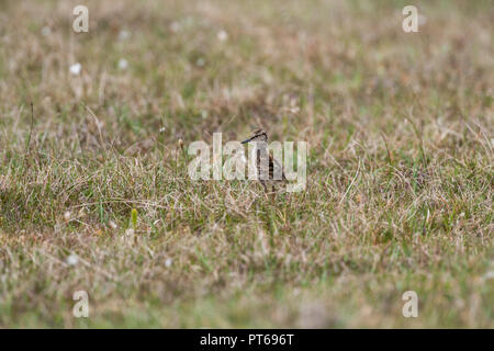 Common redshank Tringa totanus, chick, exposed in short grassland, North Uist, Outer Hebrides, Scotland, UK, May - Stock Photo