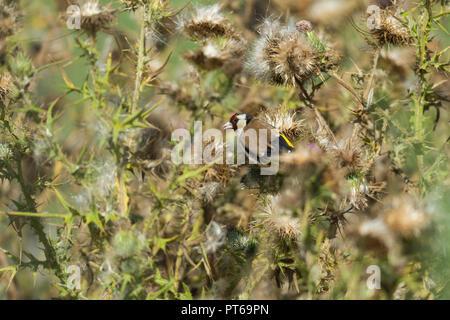 European goldfinch Carduelis carduelis, adult, feeding on thistle seed heads, Ham Wall RSPB Reserve, Somerset, UK, August - Stock Photo