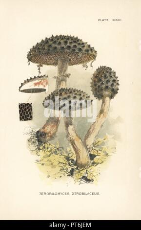 Old man of the woods, Strobilomyces strobilaceus. Chromolithograph after a botanical illustration by William Hamilton Gibson from his book Our Edible Toadstools and Mushrooms, Harper, New York, 1895. - Stock Photo