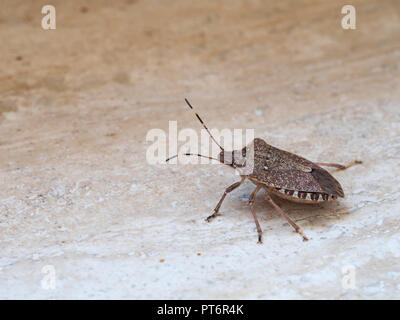 Brown marmorated stink bug Halyomorpha halys, an invasive species from Asia. On plain background with copyspace. - Stock Photo