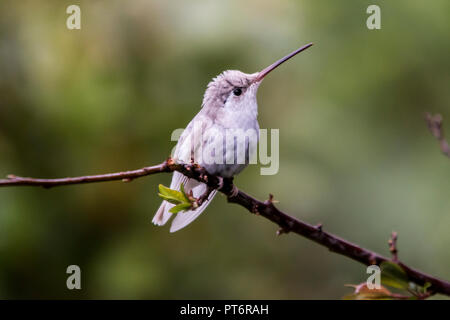 Rare white Leucistic Magnificent Hummingbird (Eugenes spectabilis). San Gerado de Dota, Los Quetzales National Park, Costa Rica - Stock Photo