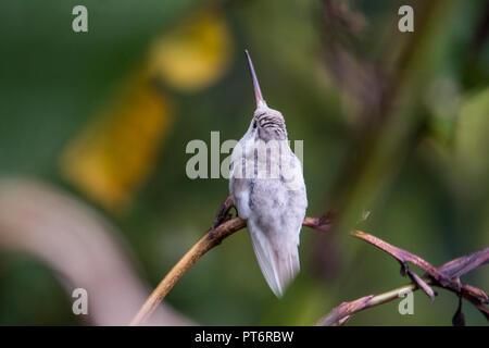 Rare white Leucistic Magnificent Hummingbird (Eugenes spectabilis). San Gerado de Dota, Los Quetzales National Park, Costa Rica - Stock Photo