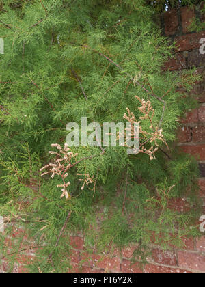 Form of Tamarisk - possibly Tamarix gallica - in flower and growing in Newquay, Cornwall. Parts of Tamarisk used as medicinal plant in herbal remedies - Stock Photo