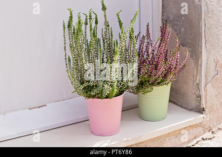 Blooming heather Calluna vulgaris in pot on window sill. House and balcony decoration with seasonal fall flowers - Stock Photo