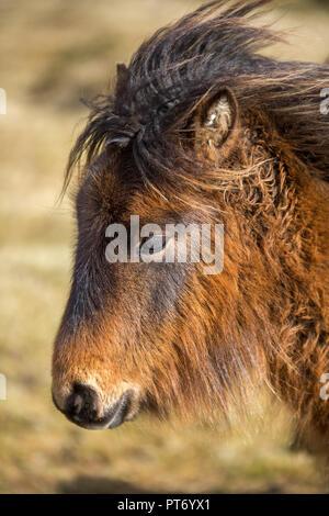 Affectionate Wild Pony on Bodmin Moor, Cornwall - Stock Photo