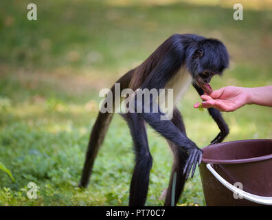 Spider Monkey being fed by a caretaker - Stock Photo