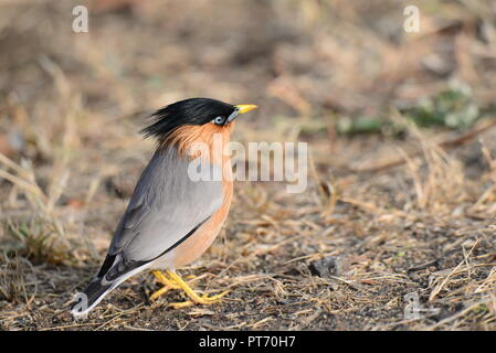 Brahminy Starling in attention pose - Stock Photo