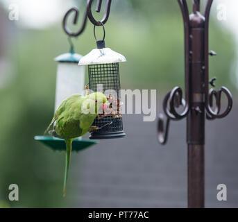 Ring-necked parakeet on a bird feeder, Heaton Mersey, Stockport, United Kingdom - Stock Photo