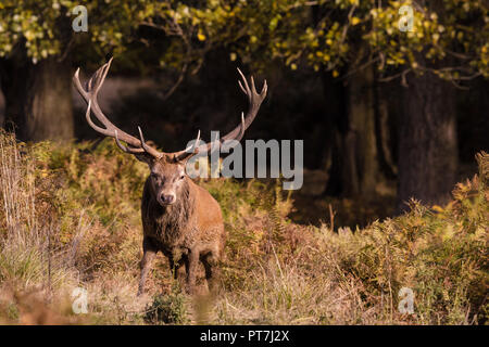 Richmond Park, London, UK. 7th Oct 2018. Red Deer (Cervus elaphus) stag, during rutting season, Richmond Park, London Credit: amanda rose/Alamy Live News - Stock Photo
