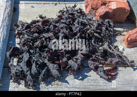 Close up of dried seaweed in the sun laying on a wooden floor, picture from Norway. - Stock Photo