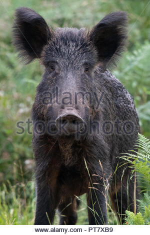 A Wild Boar roam deep in the beautiful Royal Forest of Dean - Stock Photo