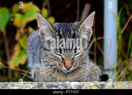 Frontal view portrait of a dark grey tabby kitten with brown nose dozing on a concrete slab with tucked in paws - Stock Photo