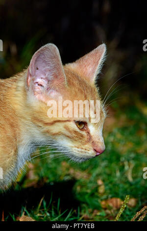 Profile view portrait of an orange tabby kitten in bright warm sunlight, against a brown and green fuzzy background
