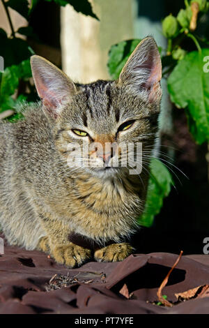 Sleekly graceful look in bright, warm sunlight of a dark grey tabby kitten sitting on a brown tabletop, close-up frontal view - Stock Photo