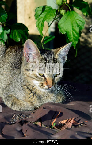 Frontal, close-up view on a dark grey tabby kitten with brown nose sitting with tucked in paws on a brown tabletop, in bright, warm sunlight - Stock Photo