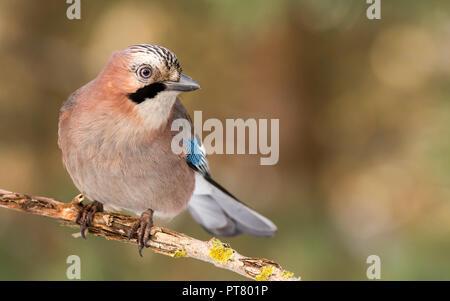 Jay bird (Garrulus glandarius) in morning sun - Stock Photo
