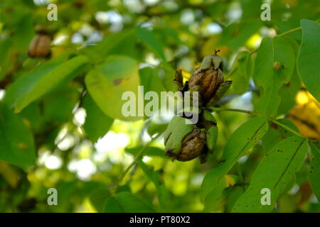 Ripe walnut on the branch in autumn - Stock Photo