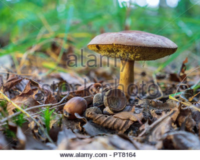 Beautiful mushrooms in the forest on a sunny autumn day in the province of Friesland in the north of the Netherlands. - Stock Photo