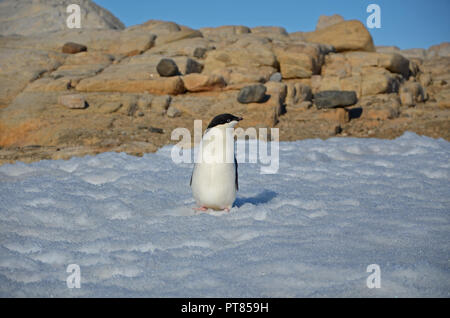 Young adelie penguins walking on stony ground. Overall plan. - Stock Photo