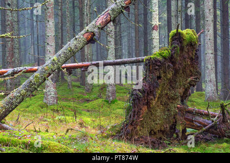 Uprooted tree in coniferous forests - Stock Photo