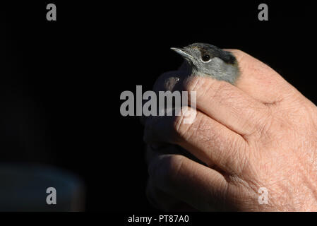 Soria, Spain. 07th Oct, 2018. A specimen of Eurasian blackcap (Sylvia atricapilla) is seen during the World Bird Day in Soria, north of Spain. The captured birds are ringed by the ornithologists and released after being ringed, The ringing of migratory birds provides information on life expectancy, migratory behaviour, feeding and reproduction. Credit: Jorge Sanz/Pacific Press/Alamy Live News - Stock Photo