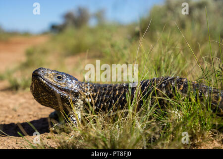 blue tongue lizard stumpy tail australia stock photo