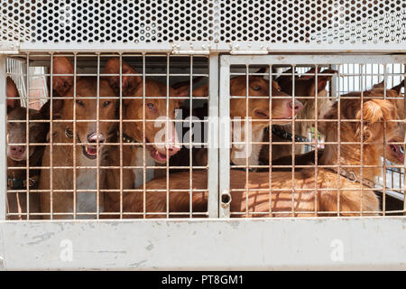 hunting dogs in cage, Canary Islands hounds, canarian warren hounds - Stock Photo