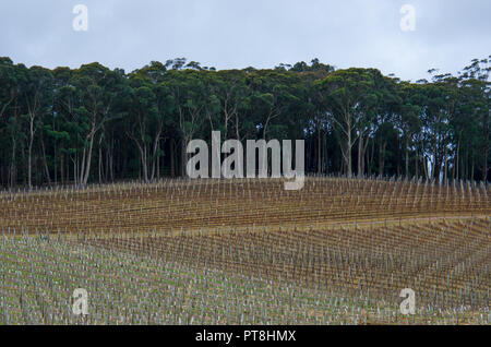 Rows of bare winter grapevines  with eucalyptus trees in background - Bowral, Australia - Stock Photo